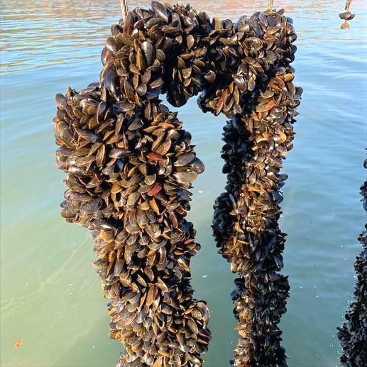 Mussels%20on%20rope%202_edited.jpg