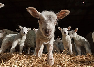 baby sheep.jpg