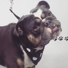 Dude! He a happy chappy #britishbulldog