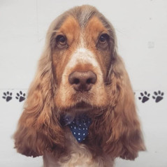 Ollie in for a pamper! #cocker #spaniel