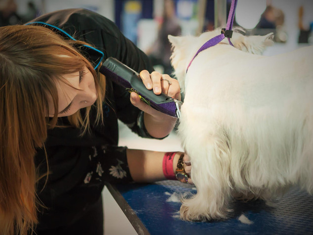 British Dog Grooming Championships 2016  Brian, West Highland White Terrier Photo Mel Brunt
