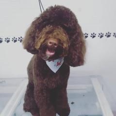 Lola! #cockapoo #fullgroom #doggrooming