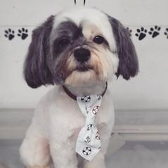 Alfie! #lLhatese #fullgroom #doggrooming