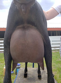 drop udder yearling.jpg