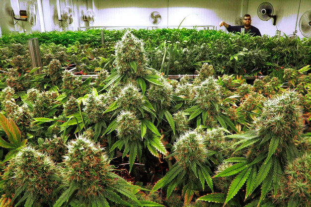 Unanswered Questions about Medical Marijuana and Its