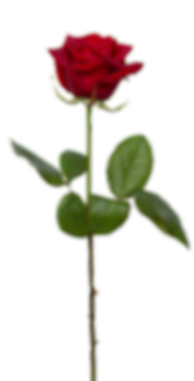 Single red rose.png