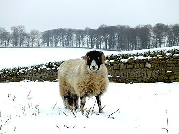 W; SHEEP IN WINTER FEILD (Small)_wm-giga