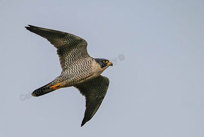 Peregrine Falcon_resized_wm.jpg