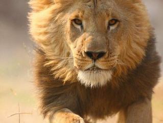Lion ou caméléon