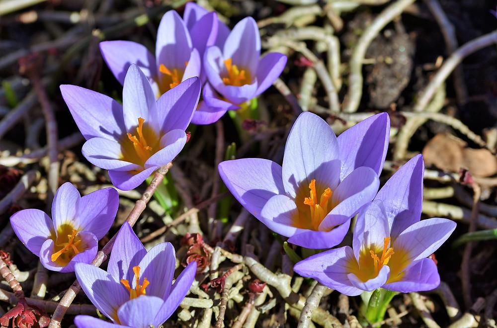 floraison, fleurs mauves