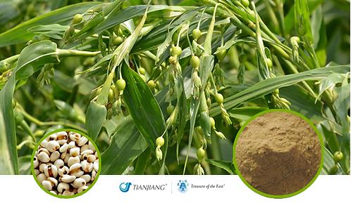 Coix Seed - Yi Ren - 1 kg / 2.2 lbs