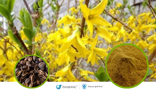 Forsythia Pure Extract - Lian Qiao - 1 kg / 2.2 lbs