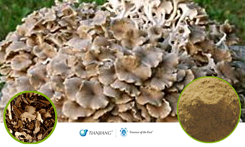 Polyporus Pure Extract - Zhu Ling - 1 kg / 2.2 lbs