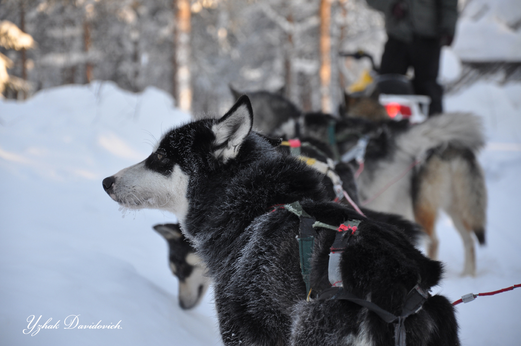 Hasky Dogs in  Lapland