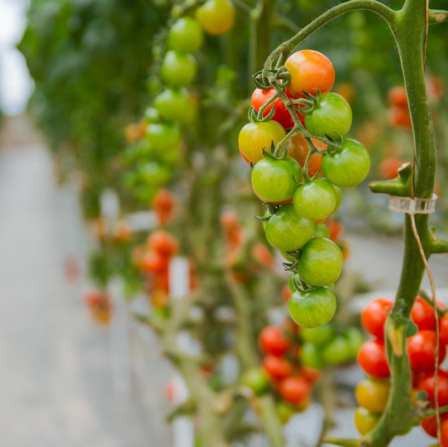 tomatoes-3446424_1280.jpg