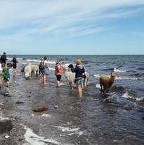 Alpakawanderungen an den Strand