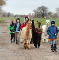 Alpakaspaziergang mit Kindern