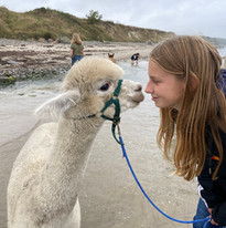 Mit Alpakas zum Strand