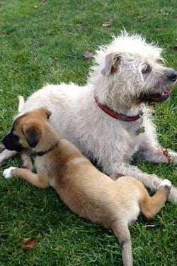Baj and Puppy Tug 2013