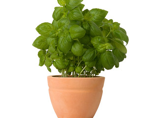 Backyard Gardening: Basil