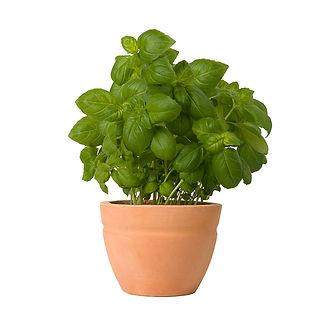 Planta da manjericão
