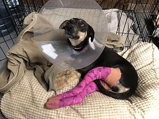 Daisy Sept 1 2020 day of surgery  4.jpg