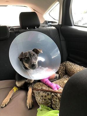 Daisy Sept 1 2020 day of surgery 3.jpg