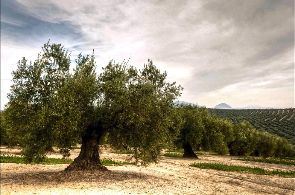 olivos Jaén