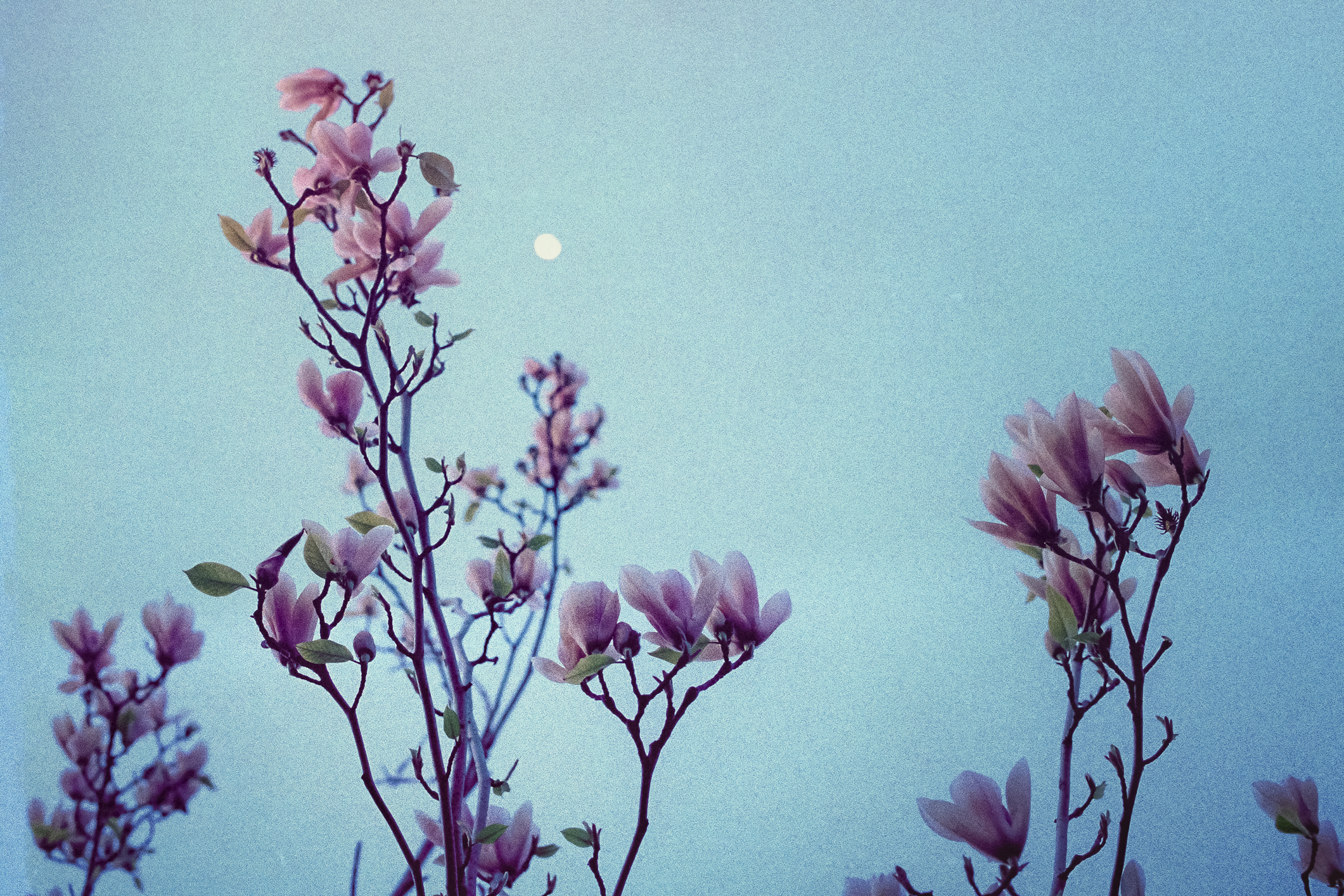 Magnolias under moonlight