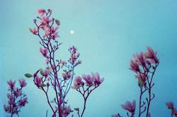 Magnolias under moonlight