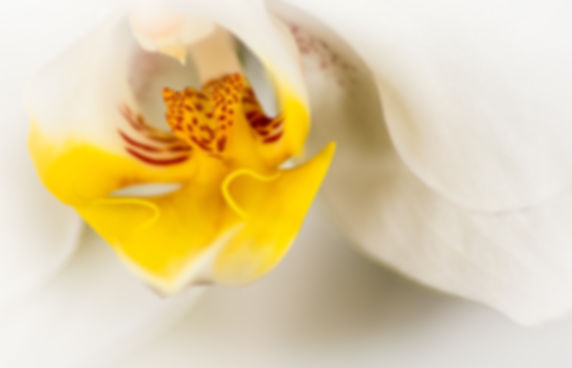 Yellow_T3_German_John_Orchid_1.jpg