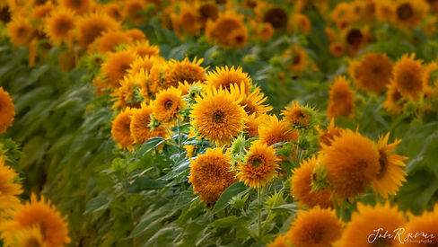 2020 HillRidge Farms Sunflowers-6992.jpg
