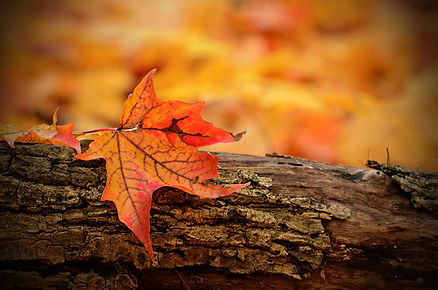 Autumn maple leaf on log