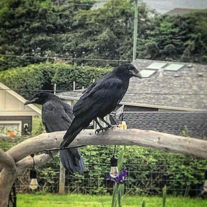 Our Resident Ravens