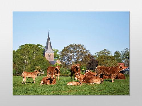 Ansichtkaart 2 : Koeien