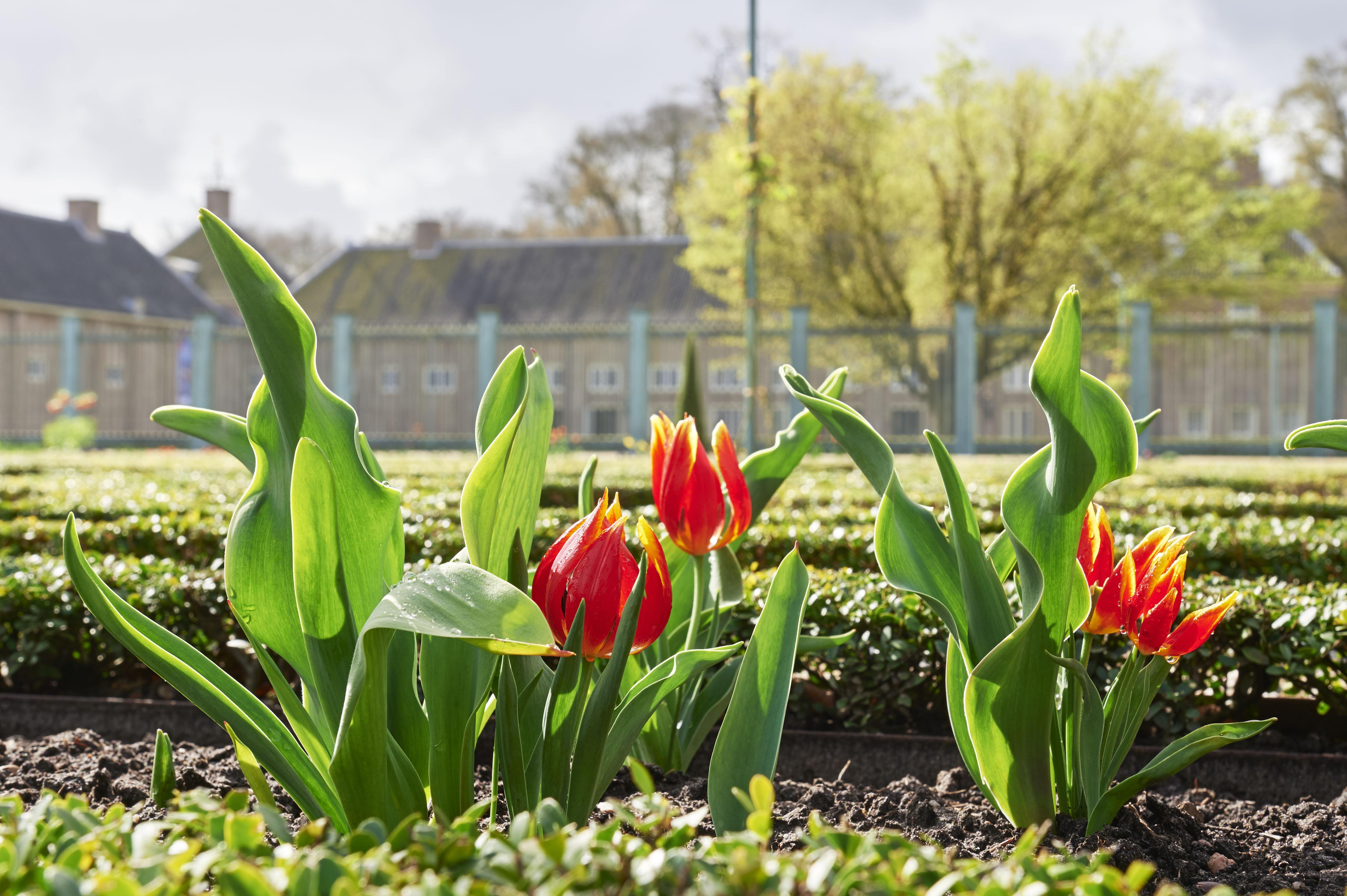 Tulipa Duc van Tol Red & Yellow bij