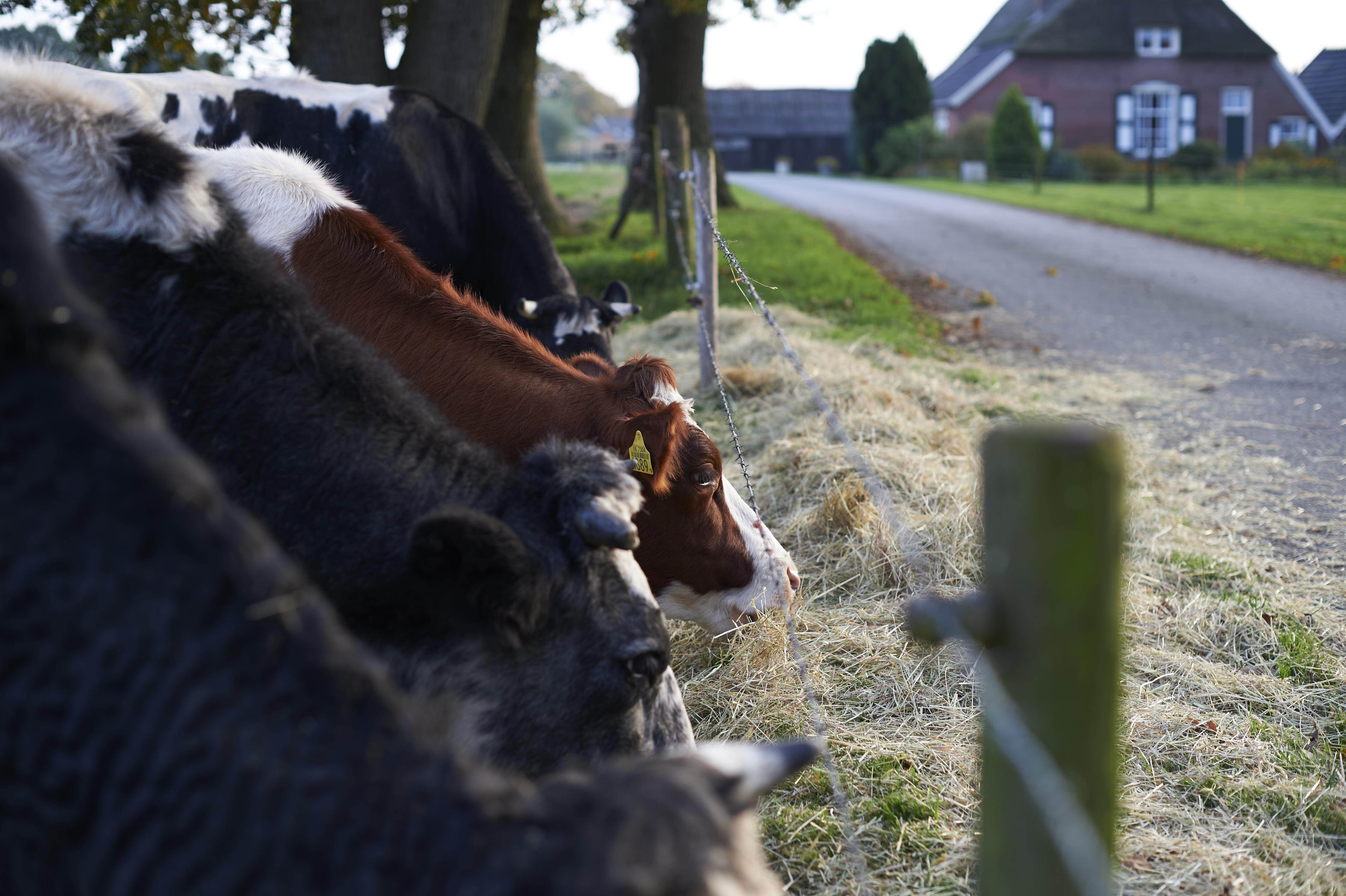 Koeien in de Achterhoek