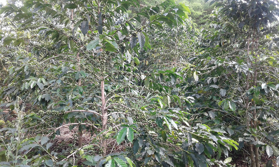 Unripe coffee cherries.jpg