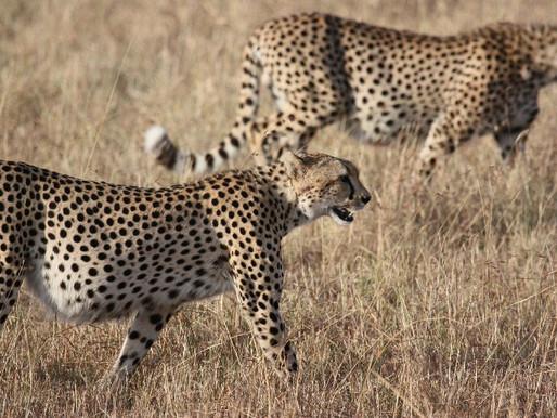 Perché il ghepardo ha le macchie?