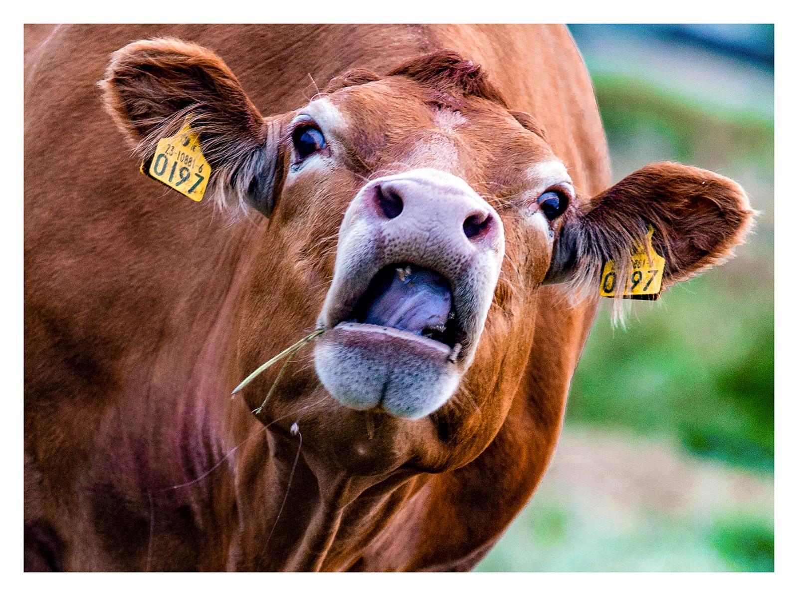 PDI - Cow by Brenda Taylor (9 marks)