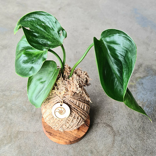 Mini Kokedama on Handmade Wooden Stand by Coastal Eden
