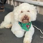 Dog_Medium_curly.jpg