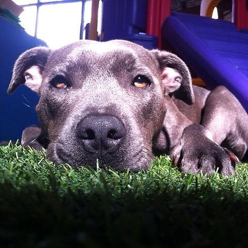 Blue_Dog_pup.JPG