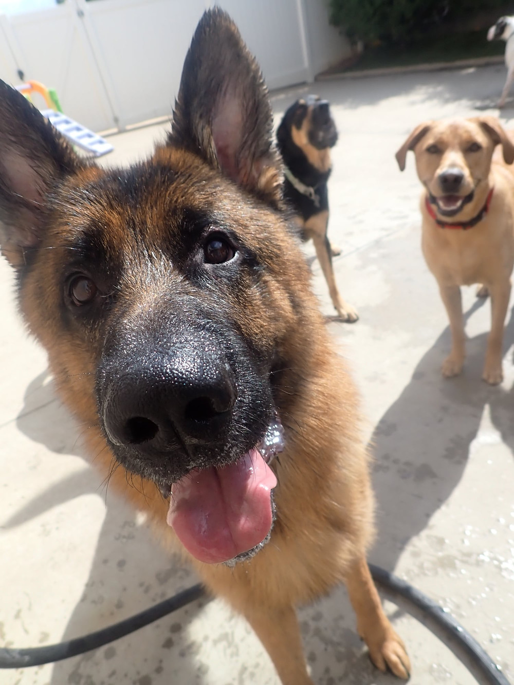 The basics about Kennel Cough and how Diesel & Blue Doggie Daycare manage it