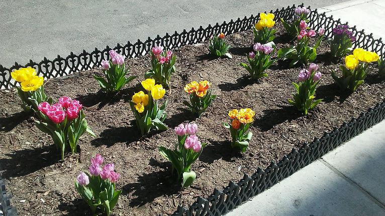 Colorful Tulips 3.jpg
