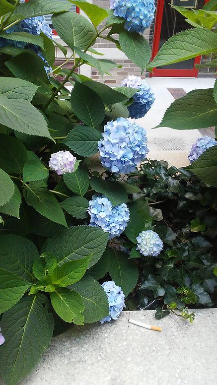 Blue Hydrangea 1.jpg