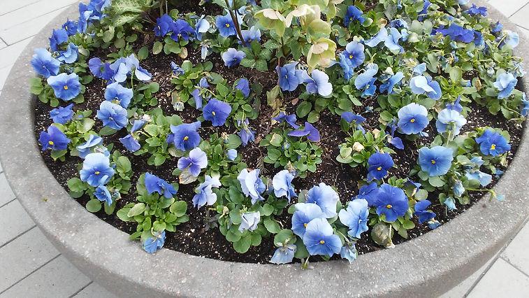 Blue Flowers in Pot 1.jpg