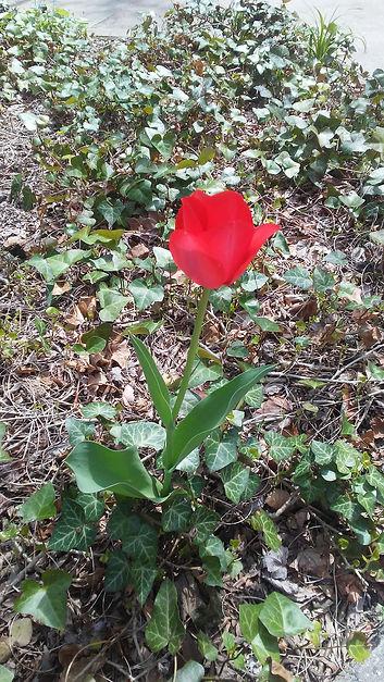 Blooming Red Tulip 1.jpg