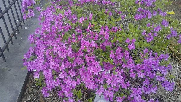 Tiny Purple Hibiscus 1.jpg
