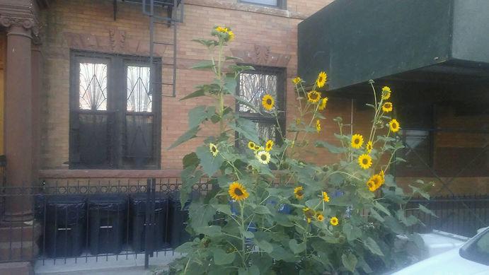 Sunflowers Outside.jpg